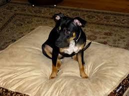american pitbull terrier mix american pitbull terrier rottweiler mix photo happy dog heaven
