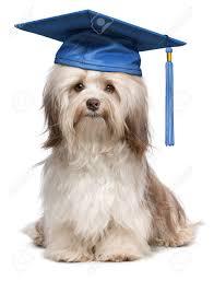 dog graduation cap beautiful proud graduation chocolate havanese dog with blue cap