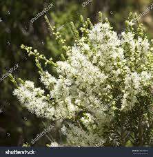 australian native plant list melaleuca species beautiful australian native plant stock photo
