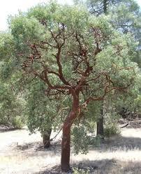 manzanita trees manzanita species of central california