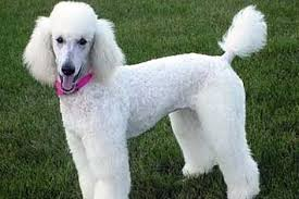 american eskimo dog poodle mix 22 awesome poodle mixes that you totally need to know about