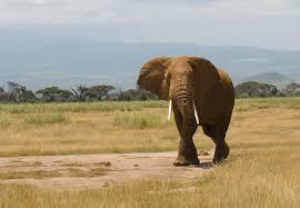 elephant hunting in kenya wikipedia