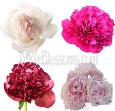 bulk peonies order fresh cut peony flowers online