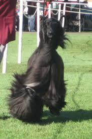 afghan hound breeders qld onyx8 jpg