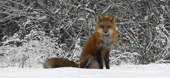 Vermont wildlife images Red fox vermont fish and wildlife jpg