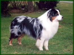 running with australian shepherd puppy 66 best aussies are a girls best friend images on pinterest