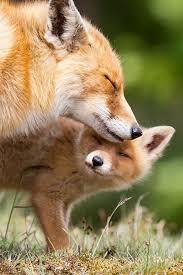 sleeping red fox wallpapers 58 best fox images on pinterest red fox foxes and wild animals