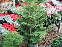 norfolk pines how to grow and care for a norfolk island pine