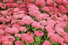 perennial flowers that bloom all summer