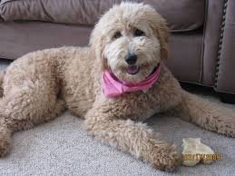doodle doo labradoodles 14 best labradoodles images on beautiful candies and