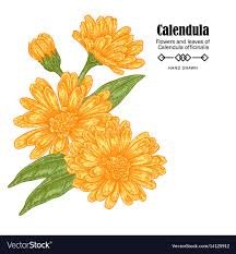 calendula flowers calendula flowers on white royalty free vector image