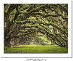 free print of oaks avenue charleston sc plantation live oak
