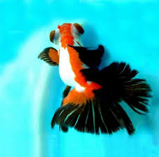 462 best fancy goldfish images on beautiful fish