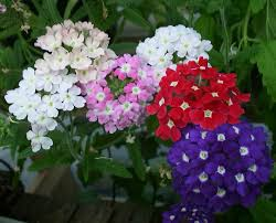 verbena flower verbena comes in a wide array of colours and can stand on its own