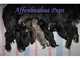 affenpinscher nc affenpinscher puppies for sale
