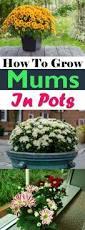 100 garden mums plants southern peony november 2016 hardy