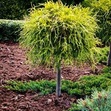 sungold sawara cypress tree form for sale the tree center