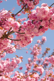the most beautiful tree in paris spring in the city lobster
