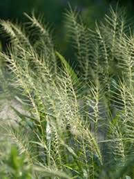 9 best hardy ornamental grasses images on ornamental