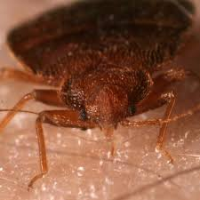 I Found A Bed Bug Now What Bed Bugs Populations Are Rising Scientists Suggest Doing Your