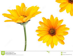 Yellow Flower - yellow flower set royalty free stock photography image 20128227
