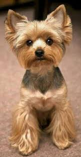 types of yorkie haircuts pictures b types of yorkie hair cuts tyfc yorkie related hair cuts