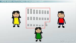 autosomes definition u0026 concept video u0026 lesson transcript