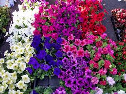 petunia flowers flowers petunia
