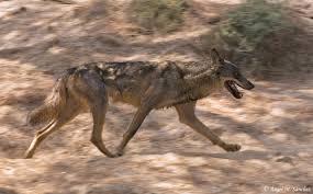 big bad challenges for spain u0027s rebounding wolves u2013 national
