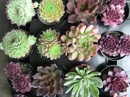 Succulent Pots For Sale Succulent Plants U0026 Descriptions Urban Succulents