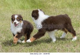 australian shepherd dog puppies australian shepherd puppies stock photos u0026 australian shepherd