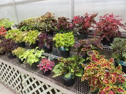 How To Grow Coleus Plants by Garden Design Garden Design With Coleus Fairway Mix Seed Flower