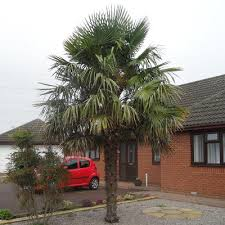 choosing a palm tree for the uk climate