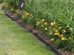 stella daylily roycroft daylily nursery