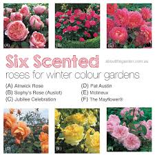 six 6 david austin scented winter roses about the garden magazine
