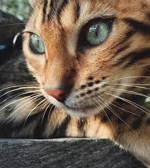 Cat Instagram Suki The Bengal Cat U0027s Instagram Is A Massive Hit With Wanderlusters