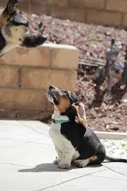 11 bluetick coonhound puppies in a bathtub 10 best bassett borders images on pinterest border collie