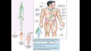 Human Anatomy Worksheet Organ System Overview Worksheet Overview Of Human Anatomy And