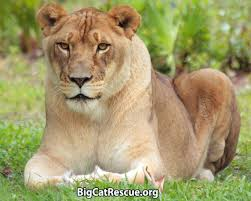 big cat rescue corp nonprofit in tampa fl volunteer read