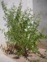 native arizona plants find trees u0026 learn university of arizona campus arboretum