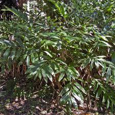 growing australian native plants from seed australian seed alpinia caerulea