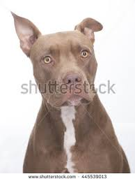 american pitbull terrier natural ears pitbull stock images royalty free images u0026 vectors shutterstock
