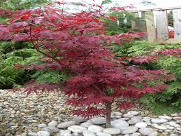 Indoor Trees For The Home by Trees For Small Gardens Japanese Maples Acers Garden Idolza