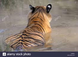 back view of a bengal tiger panthera tigris tigris lying in