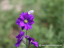 delphinium flower delphinium pictures pictures of larkspur flowers