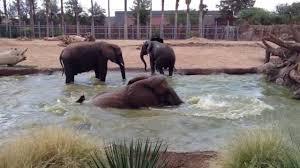 Zoo Lights Tucson Az by Elephants At Reid Park Zoo Tucson Youtube
