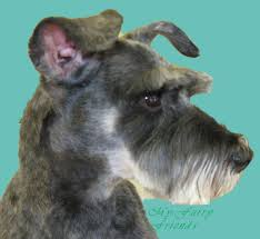 schnauzer hair styles pet grooming the good the bad the furry different looks of a