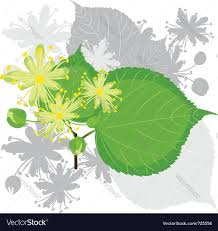 linden flower linden flowers with foliage royalty free vector image