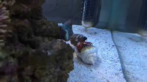 halloween hermit crab changing shell youtube