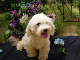bichon frise jack russell for sale bichon frise puppies for sale